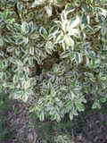 FICUS PUMALIA ,F. LYRATA ,F. ELESTICA, F. BANJAMINA ARE THE SPECIES OF A SAME FAMILY. FICUS PLANTS ARE ONE OF THE MOST POPULAR FOLLIAGE PLANTS MOST SUITABLE FOR stock image