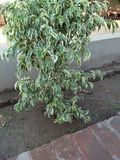 FICUS PUMALIA ,F. LYRATA ,F. ELESTICA, F. BANJAMINA ARE THE SPECIES OF A SAME FAMILY. FICUS PLANTS ARE ONE OF THE MOST POPULAR FOLLIAGE PLANTS MOST SUITABLE FOR royalty free stock photo