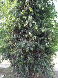FICUS PUMALIA ,F. LYRATA ,F. ELESTICA, F. BANJAMINA ARE THE SPECIES OF A SAME FAMILY. FICUS PLANTS ARE ONE OF THE MOST POPULAR FOLLIAGE PLANTS MOST SUITABLE FOR stock photo
