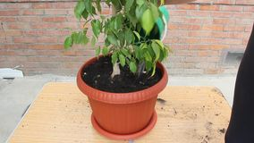 Ficus in a plastic pot. After transplantation stock video footage