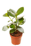 Ficus in the pot Stock Images