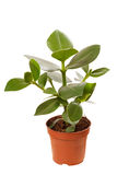 Ficus in the pot Stock Image