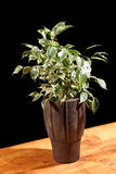 Ficus in the pot Royalty Free Stock Photography