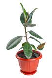 Ficus in pot Royalty Free Stock Photography
