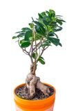 Ficus in a pot Stock Photography