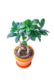 Ficus in a pot Royalty Free Stock Image