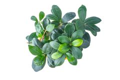 Ficus in a pot Royalty Free Stock Photography
