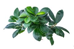 Ficus in a pot Royalty Free Stock Images