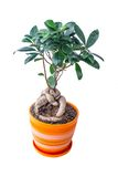 Ficus in a pot Stock Photos
