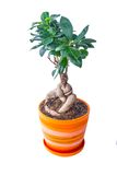 Ficus in a pot Stock Photo