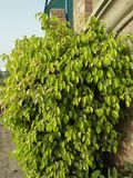 FICUS PUMALIA ,F. LYRATA ,F. ELESTICA, F. BANJAMINA ARE THE SPECIES OF A SAME FAMILY. FICUS PLANTS ARE ONE OF THE MOST POPULAR FOLLIAGE PLANTS MOST SUITABLE FOR stock images
