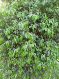FICUS PUMALIA ,F. LYRATA ,F. ELESTICA, F. BANJAMINA ARE THE SPECIES OF A SAME FAMILY. FICUS PLANTS ARE ONE OF THE MOST POPULAR FOLLIAGE PLANTS MOST SUITABLE FOR royalty free stock photos