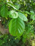 FICUS PUMALIA ,F. LYRATA ,F. ELESTICA, F. BANJAMINA ARE THE SPECIES OF A SAME FAMILY. FICUS PLANTS ARE ONE OF THE MOST POPULAR FOLLIAGE PLANTS MOST SUITABLE FOR stock photos