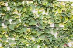 Ficus pumila Zdjęcia Stock