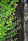 Ficus pumila climbing on old wall Stock Photo