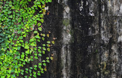Ficus pumila climbing on old wall Royalty Free Stock Photography