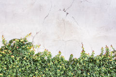 Ficus pumila climbing. On space of concrete wall Stock Image