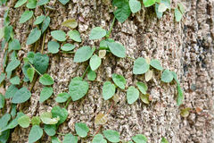 Ficus pumila climbing on tree bark Stock Images
