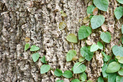 Ficus pumila climbing on tree bark. Vine creeper on tree Royalty Free Stock Photo