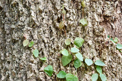 Ficus pumila climbing on tree bark. Vine creeper on tree Royalty Free Stock Photography