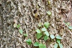 Ficus pumila climbing on tree bark Royalty Free Stock Photography