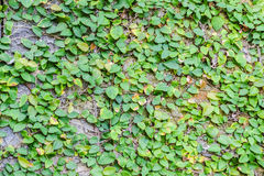 Ficus pumila climbing on wall. As background Stock Images