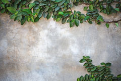 Ficus pumila climbing on  wall Royalty Free Stock Images