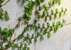 Ficus pumila climbing the wall. Plant climbing the wall at home Stock Photography