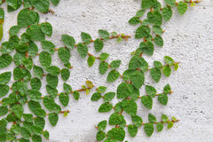 Ficus pumila climbing the wall Stock Image