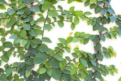Ficus pumila climbing stock image