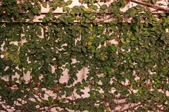 Ficus pumila or creeping fig. A vigorous, fast-growing, evergreen climbing vine Royalty Free Stock Photos