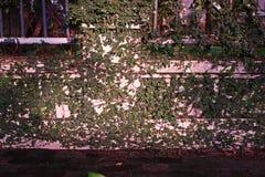 Ficus pumila or creeping fig Stock Photo