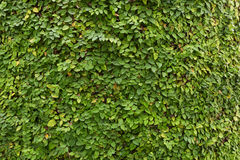 Ficus pumila, Creeping Fig, plants as wonderful nature background Royalty Free Stock Image