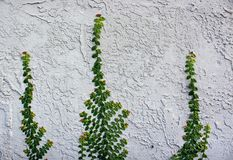 Ficus pumila or creeping fig on the wall. Ficus pumila also called creeping fig or climbing fig, is a species of flowering plant in the mulberry family, native Royalty Free Stock Photo