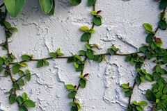 Ficus pumila or creeping fig on the wall. Ficus pumila also called creeping fig or climbing fig, is a species of flowering plant in the mulberry family, native Royalty Free Stock Photography