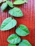 Ficus pumila ist die Spezies der blühender Pflanze im Familie Moraceae, gebürtig zu Ostasien Es ist eine waldige immergrüne Rebe, Stockbild