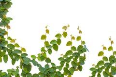 Ficus pumila Klettern lizenzfreie stockfotos