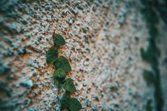 Ficus pumila leaves. On a stone wall Stock Photography