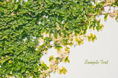 Ficus Pumila Leaves Wall Background Stock Photography