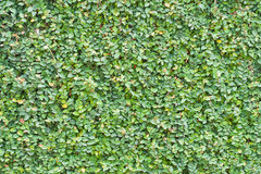 Ficus Pumila Leaves Wall Background Stock Photo
