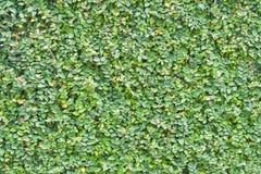 Ficus pumila liści ścienny tło Zdjęcie Stock