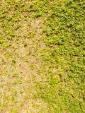 Ficus pumila Stock Photo