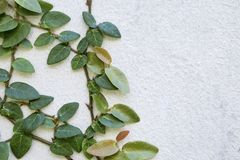 Ficus pumila plant growing on white cement wall. Background Royalty Free Stock Image
