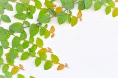 Ficus Pumila Stock Images