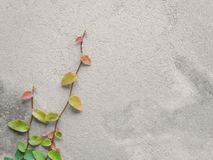 Ficus Pumila vines climbing on cement wall Stock Photography