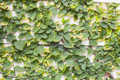 Ficus pumila Stock Photos