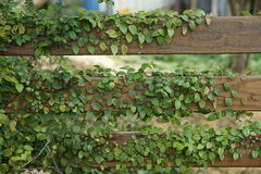 Ficus pumila and wooden fence. Climbing Ficus pumila on wooden fence Stock Photo