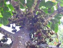 Ficus Racemosa - Ficus Glomerata Roxburghii - σύκα Gular στο δέντρο σύκων συστάδων - ινδικό δέντρο σύκων Στοκ φωτογραφία με δικαίωμα ελεύθερης χρήσης