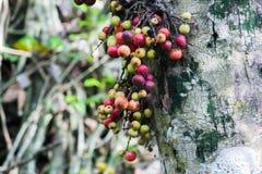 Ficus racemosa im Wald ist reif lizenzfreies stockfoto