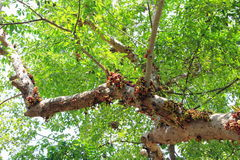 Ficus racemosa Royalty Free Stock Photos
